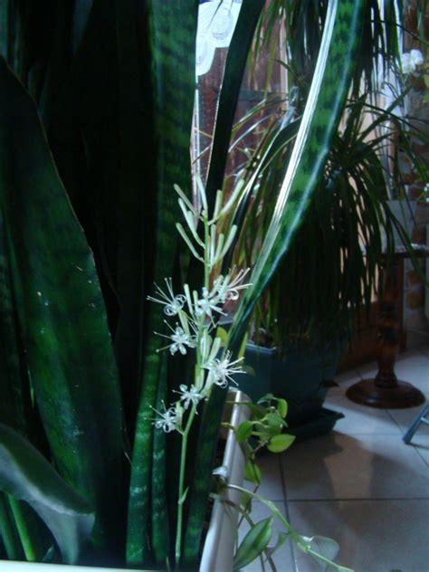 Plante Langue De Mère Fleur by Ma Plante D Appartement