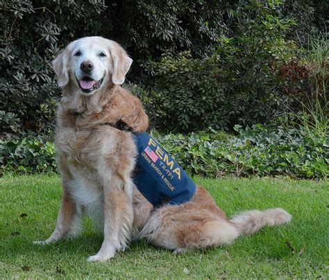 16 year golden retriever last living 9 11 rescue honored with epic sweet 16 birthday bored panda