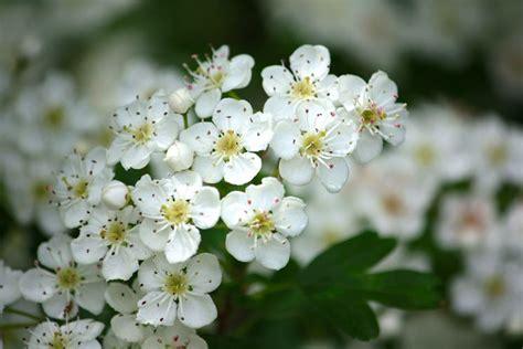 fiori biancospino biancospino gli alberi fiori arbusto