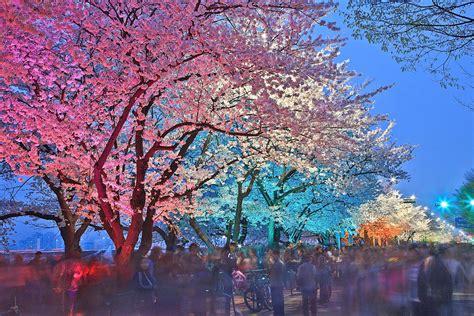 cherry blossom festival lifeplus cherry blossom picnic festival 2017 hab korea net