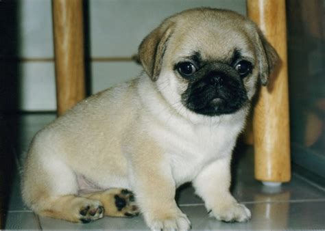 cutest pug puppies pug puppies amazing wallpapers