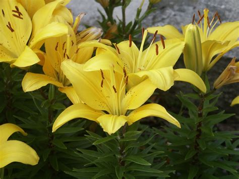 Big Yellow by File Big Yellow Flowers Jpg Wikimedia Commons