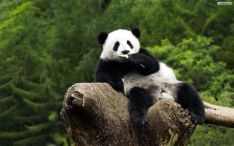 wallpaper desktop panda panda background hd wallpaper important wallpapers