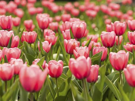 Tulpen Einpflanzen by Q A Planting Tulip Bulbs Saga