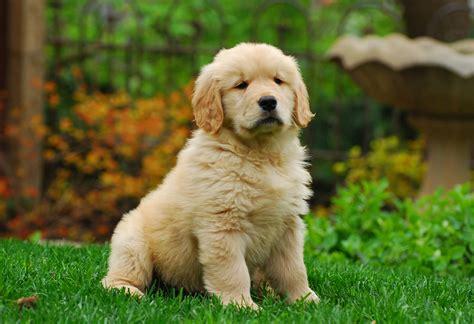 fluffy golden retriever fluffy golden retriever puppy animal poster photo print wall ebay