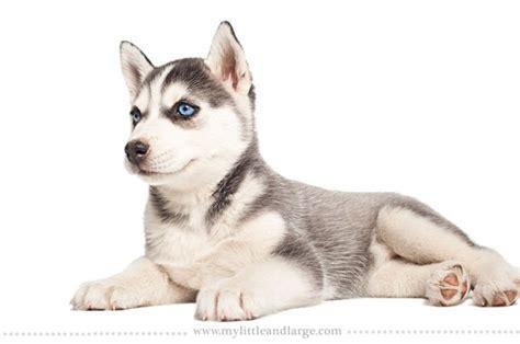 different races of dogs 17個狗狗品種在六周大時的可愛模樣