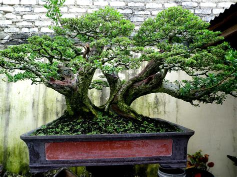 Jual Bakalan Bonsai Jakarta bonsai santigi besar bonsai santigi bakalan bonsai