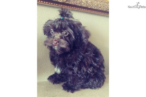yorkie poo for sale san diego for yorkies home improvement self catering cottages home