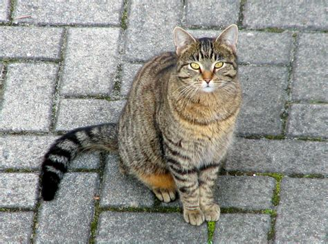 File:Domestic cat   Wikimedia Commons
