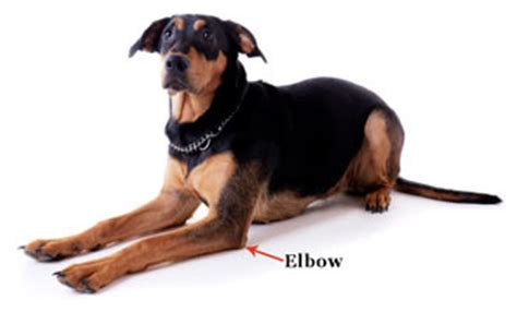 rottweiler arthritis symptoms dysplasia in dogs doghealth