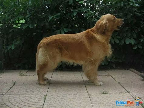 allevamento golden retriever pavia cuccioli golden retrivers in vendita a casorate primo pv