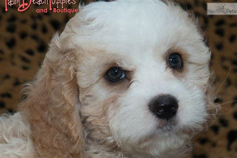 cockapoo puppies for sale in florida 403 forbidden