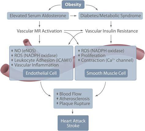 hearts of resistance mineralocorticoid receptor mediated vascular insulin