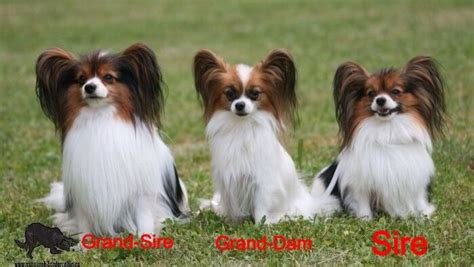 papillon for sale stunning opportunity papillon puppies belfast county antrim pets4homes