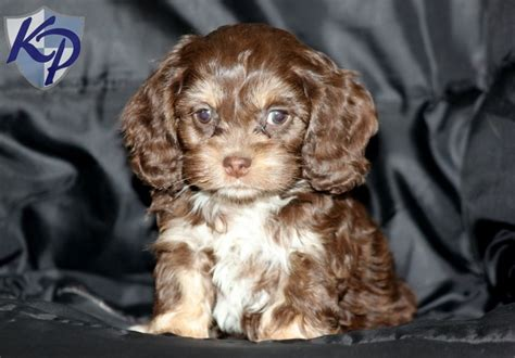 cockapoo puppies for sale in pa meadow cockapoo puppies for sale in pa keystone puppies cockapoo puppies