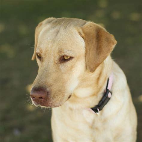 average lifespan average lifespan of a labrador retriever 1001doggy
