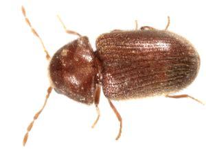 cigarette beetles, how to get rid of drugstore beetles