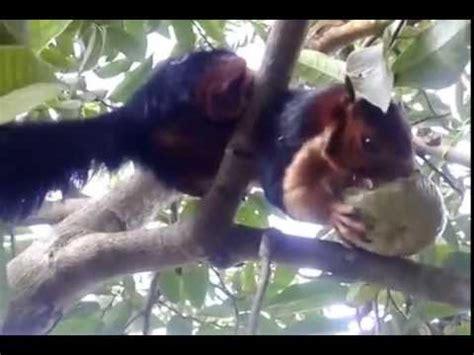 best documentaries investigating hibernation 1972 nilgiri malabar squirrel