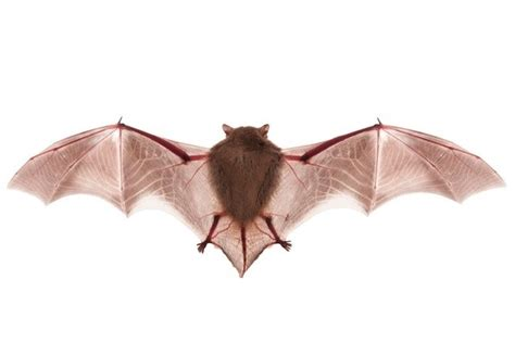 how to get bats out of your house how to get rid of bats bob vila