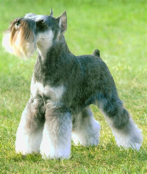 schnauzer hair cut step by step schnauzer hair cut step by step schnauzer hair cut step by