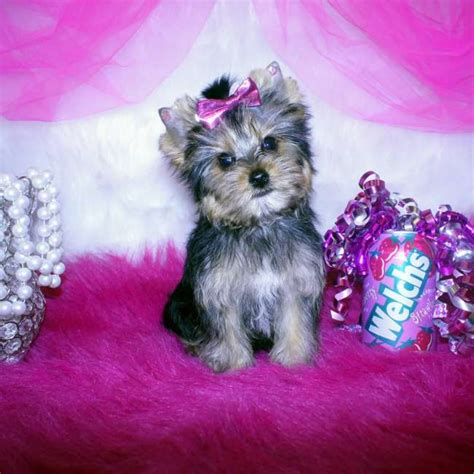 small yorkies for sale small yorkie puppy for sale teacup yorkies sale