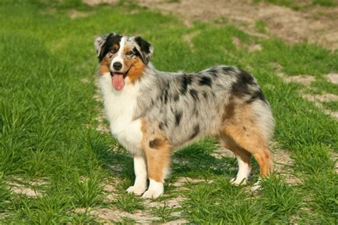 Do Australian Sheep Dogs Shed by Australian Shepherd Shedding Canineplanet Net