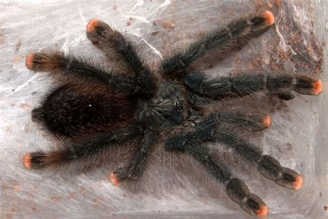 The Pink Tarantula caring for pink toe tarantulas pet pink toe tarantulas