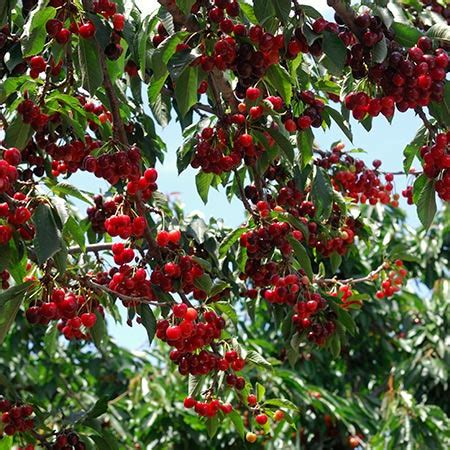 1 cherry tree brandesburton grow cherry trees from pits bees and roses