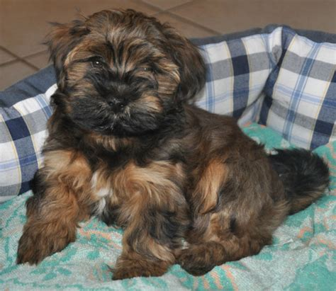 brindle havanese colors colours in havanese havaneser farben info chocolate brown colour color