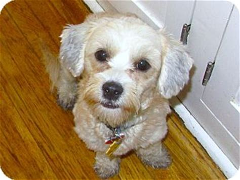 does a shih tzu shed i do not shed adopted yorba ca shih tzu lhasa apso mix