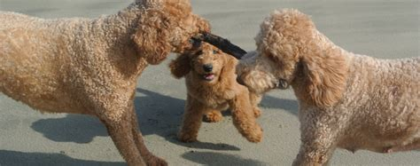 goldendoodle puppy portland oregon goldendoodle puppies portland oregon and goldendoodle