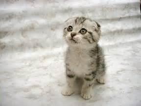 top 10 des plus belles races de chats nature en images