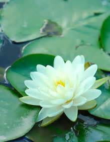 Lotus Mud The Thicker And Deeper The Mud The More Beautiful The