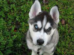 how to potty a husky puppy 1000 images about husky tips on siberian huskies siberian husky