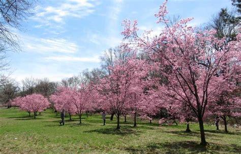 7 cherry tree ridge nj cherry blossom in new jersey more than 5 000 cherry trees