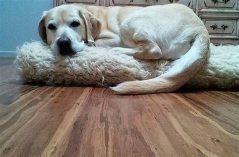 Dogs And Bamboo Floors by Bamboo Flooring With Dogs Gurus Floor