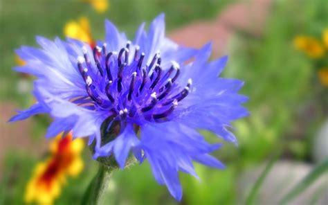 fior d aliso fiori fiordaliso fiori di piante