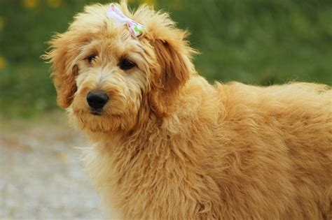 goldendoodle puppy aggressive free photo goldendoodle canine pet free image on