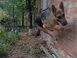 Displaying 17 gt images for ovcharka dog