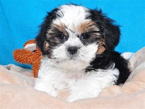 shih tzu teddy mix shih tzu bichon mix aka teddy