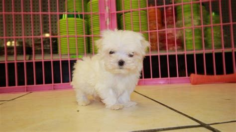 local puppies for sale adorable teacup maltese puppies for sale in at