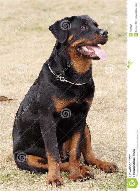 rottweiler markings rottweiler stock image image 4532321