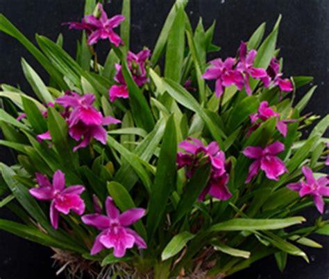 Home Decorative Plants miltonia honolulu warne s best hcc aos ccm aos presented