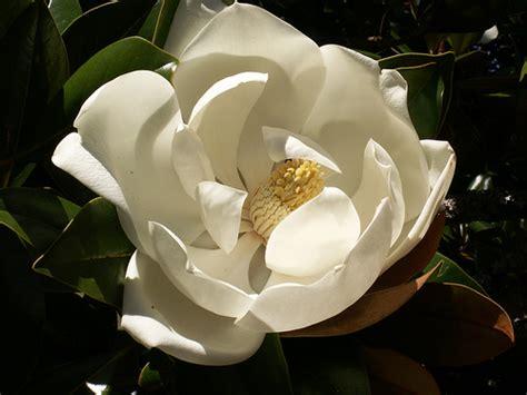 imagenes de magnolias blancas espermatofitas regnum plantae
