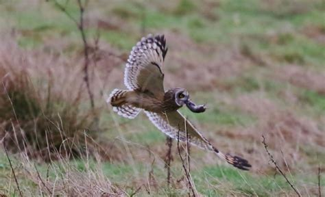 amazing pictures show owl fighting kestrels for its dinner
