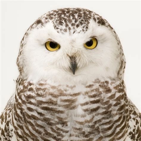 Setelan Baby Pay Owl snowy owl national geographic