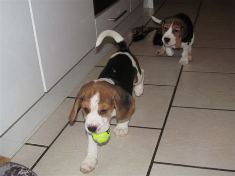 puppies for adoption ta beagle sale singapore beagle puppies buy buy beagle breeders beagle dogs breed