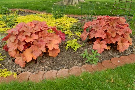Southern Comfort Heuchera by Pin By On Summer Orange In The Garden