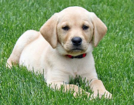 lab puppies labrador retriever puppies rescue pictures information temperament