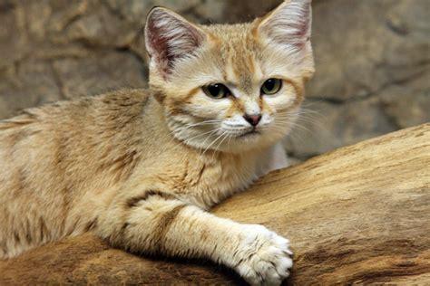 Sand Painting Besar kucing yang paling di idam idamkan semua orang peristiwa